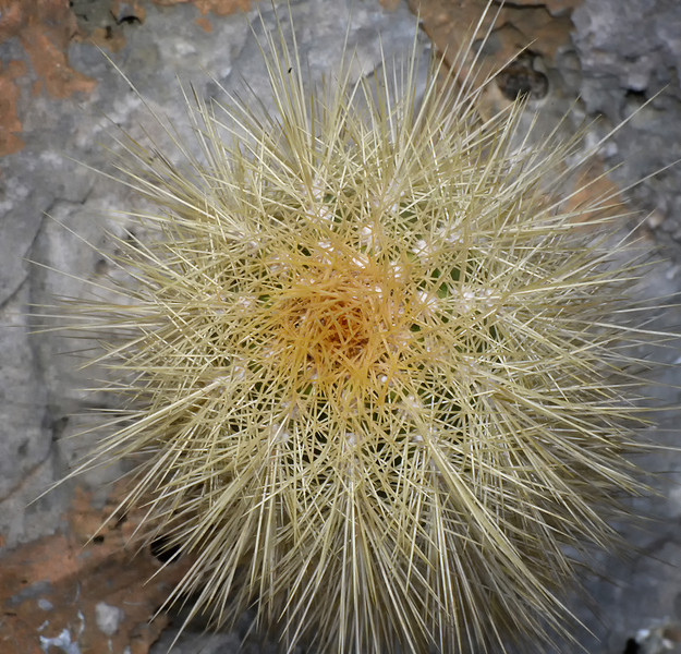 Mammillaria cactus (sp.?), Portland Ridge, Portland Bight Protected Area, Jamaica, by Ted Lee Eubanks.