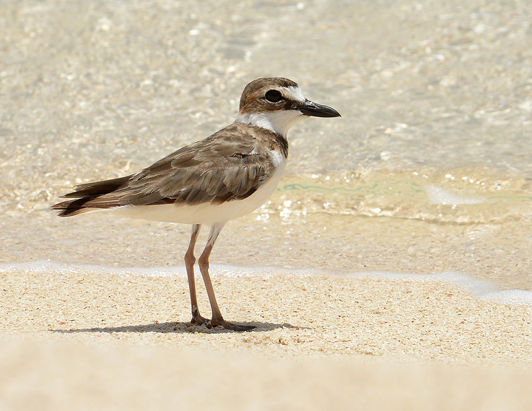 Wilson's plover (Charadrius wilsonia), Portland Bight Protected Area, Jamaica, by Ted Lee Eubanks. Adult.