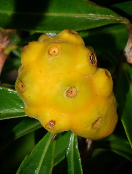 Noni fruit (Morinda citrifolia), Portland Ridge, Portland Bight Protected Area, Jamaica, by Ted Lee Eubanks.