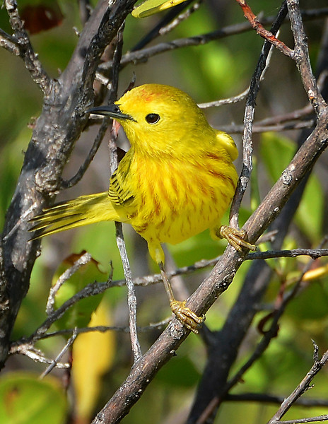 Yellow warbler (Setophaga petechia) by Ted Lee Eubanks.