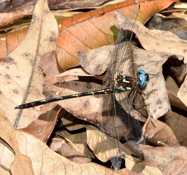 Antillean Sylph (Macrothemis celeno), a Greater Antillean endemic. Photographed along the YS River, Jamaica,