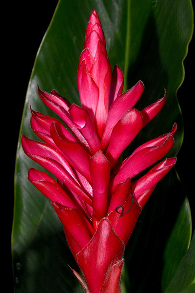 Red ginger flower, YS Falls, Jamaica, by Ted Lee Eubanks.