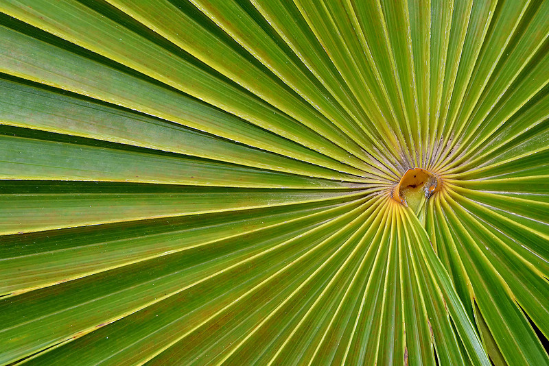 Palm frond (endemic), Portland Ridge, Portland Bight Protected Area, Jamaica, by Ted Lee Eubanks.
