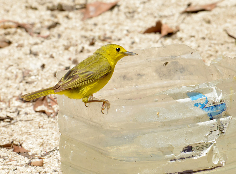 Yellow warbler (Setophaga petechia), LIttle Half Moon Cay, Portland Bight Protected Area, Jamaica, by Ted Lee Eubanks. The bird came into water that had been set out for a resident chicken by local fisherfolk.