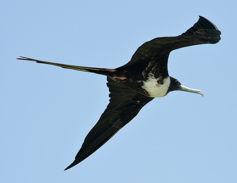 Magnificent frigatebird (Fregata magnificens), Portland Bight Protected Area, Jamaica, by Ted Lee Eubanks. Adult female