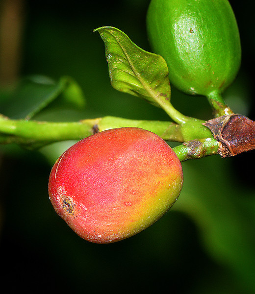 Coffee berry, Jamaica, by Ted Lee Eubanks.