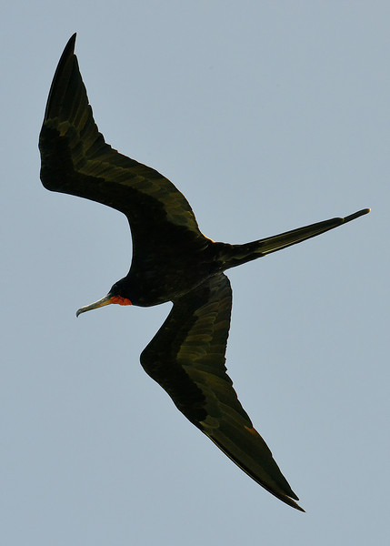 Magnificent frigatebird (Fregata magnificens), Portland Bight Protected Area, Jamaica, by Ted Lee Eubanks. Adult male.