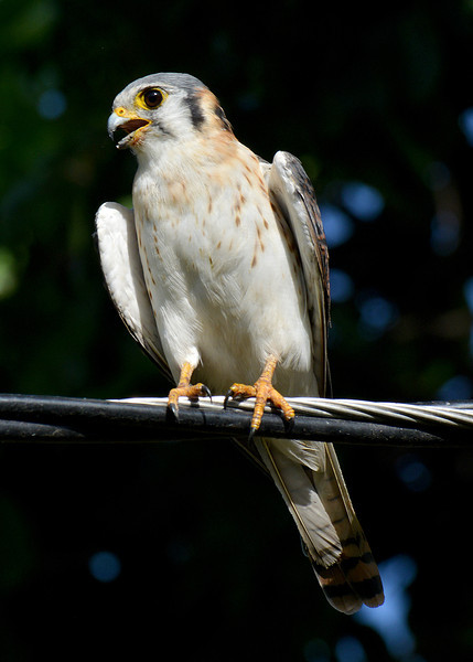 American kestrel (Falco sparverius), Jamaica, by Ted Lee Eubanks. The subspecies may be Falco sparverius sparveroides.
