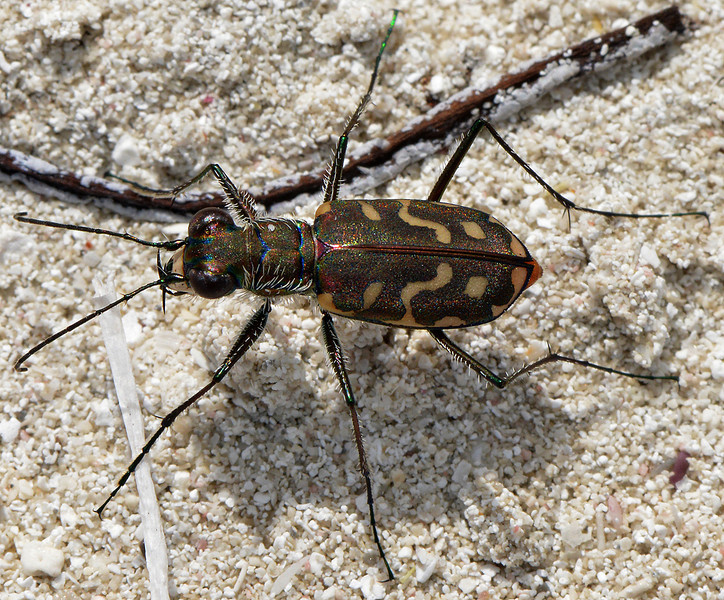 Cicindela rufiventris, beach at Manatee Bay, Portland Bight Protected Area, Jamaica, by Ted Lee Eubanks.