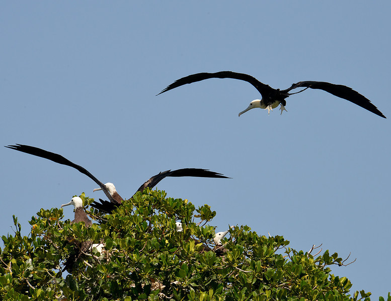 Magnificent frigatebird (Fregata magnificens), Portland Bight Protected Area, Jamaica, by Ted Lee Eubanks. This is from a small nesting island near Little Half Moon Cay.