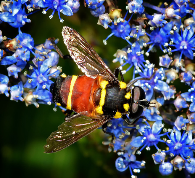 Syrphid fly, Blue Mountains, Jamaica, by Ted Lee Eubanks.