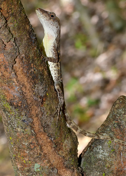 Jamaican gray anole (Anolis lineatopus), endemic to Jamaica, Portland Ridge, Portland Bight Protected Area, Jamaica, by Ted Lee Eubanks. ENDEMIC.