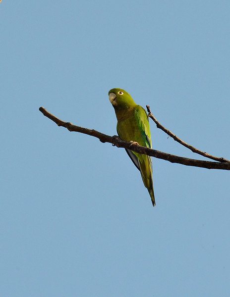 Olive-throated parakeet (Eupsittula nana), Windsor Research Centre, Jamaica, by Ted Lee Eubanks.
