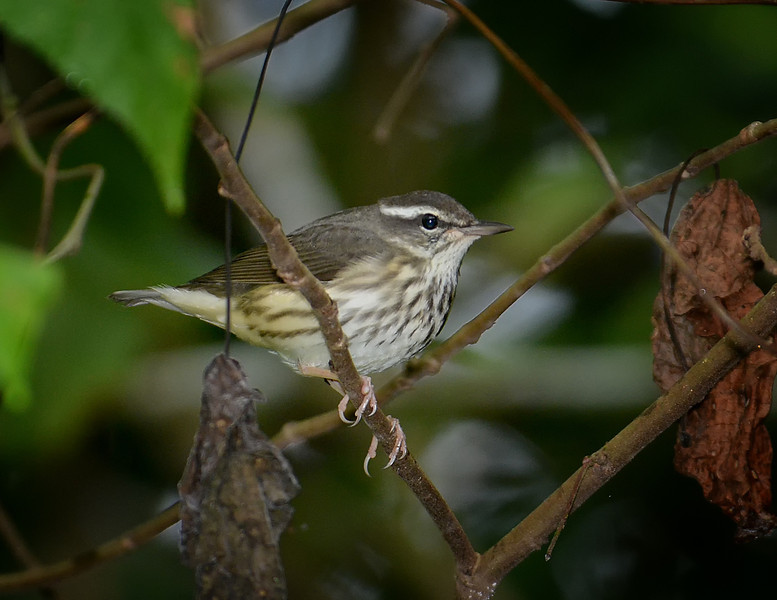 Louisiana waterthrush (Parkesia motacilla), Windsor Research Centre, Jamaica, by Ted Lee Eubanks.