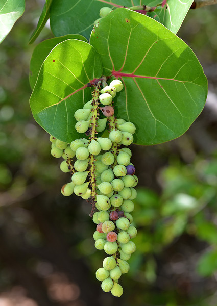 Sea grape (Coccoloba uvifera), Portland Bight Protected Area, Jamaica, by Ted Lee Eubanks.