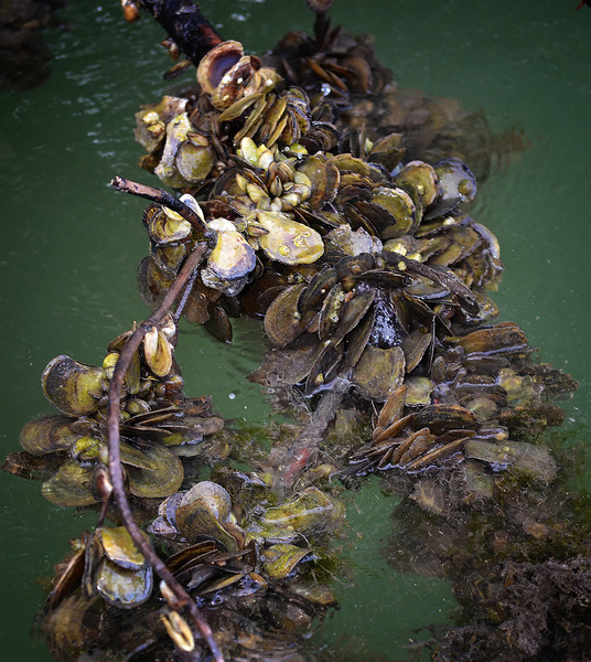 Shellfish on mangrove root, Black River, Portland Bight Protected Area, Jamaica, by Ted Lee Eubanks.