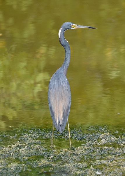 Tricolored heron, Black River Morass, Jamaica, by Ted Lee Eubanks.