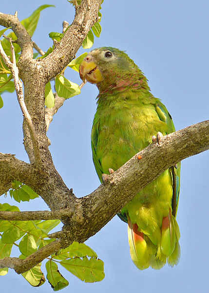Yellow-billed parrot (Amazona collaria), Jamaica, by Ted Lee Eubanks. Endemic.