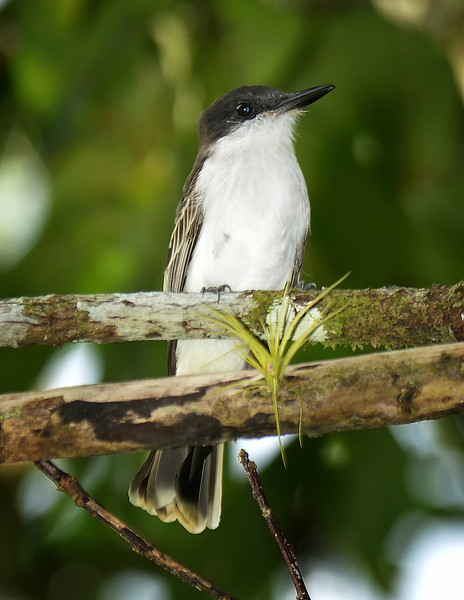 Loggerhead kingbird (Tyrannus caudifasciatus), Windsor Research Centre, Jamaica, by Ted Lee Eubanks.