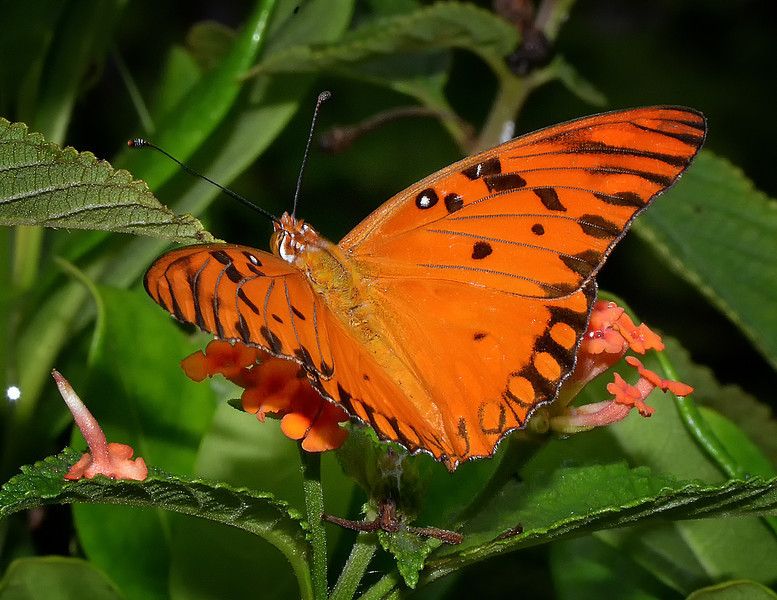 Gulf fritillary (Agraulis vanillae), Barbecue Bottoms, Jamaica, by Ted Lee Eubanks.