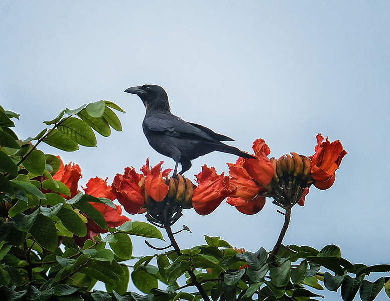 Jamaican crow (Corvus jamaicensis), Cockpit Country, Jamaica, by Ted Lee Eubanks. Endemic.
