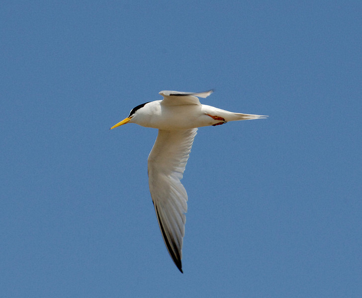 Least tern (Sternula antillarum) by Ted Lee Eubanks.