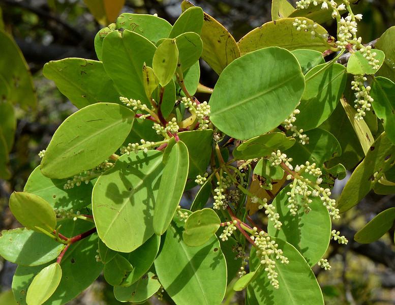 White mangrove (Avicennia marina) flowers, Portland Bight Protected Area, Jamaica, by Ted Lee Eubanks