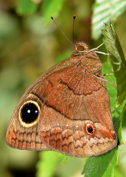 Jamaican Satyr (Calisto zangis), Blue Mountains, Jamaica, by Ted Lee Eubanks. Endemic.