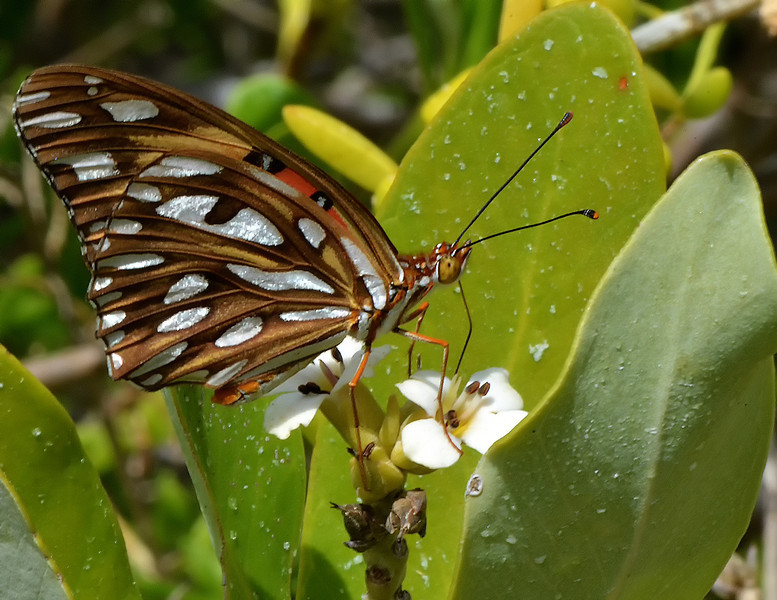 Gulf fritillary (Agraulis vanillae) feeding on black mangrove flowers (Avicennia germinans), Manatee Bay, Portland Bight Protected Area, Jamaica, by Ted Lee Eubanks.