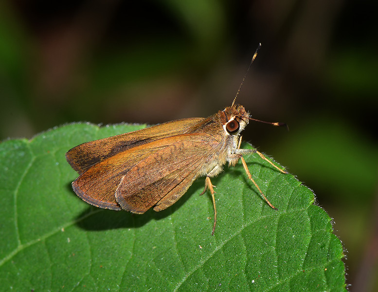Malicious skipper (Synapte malitiosa), Windsor Research Centre, Jamaica, by Ted Lee Eubanks.