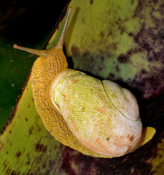 Land snail, Cockpit Country, Jamaica, by Ted Lee Eubankjs. There are over 500 species of land snails in Jamaica, virtually all endemic.