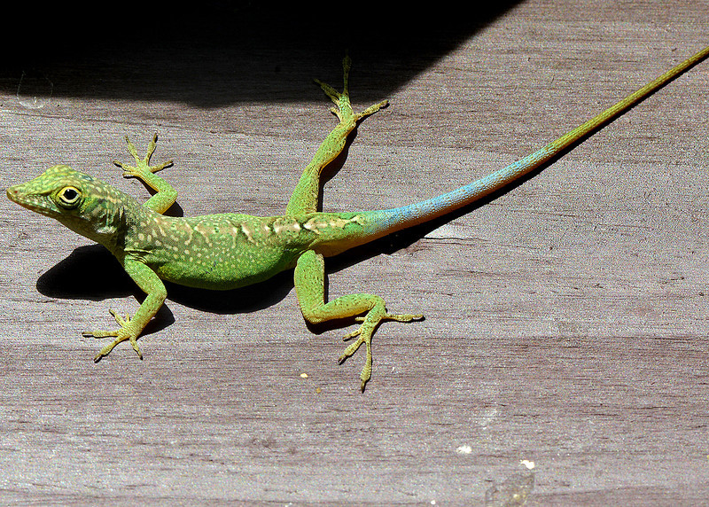 Anolis grahami, Windsor Research Centre, Jamaica, by Ted Lee Eubanks.