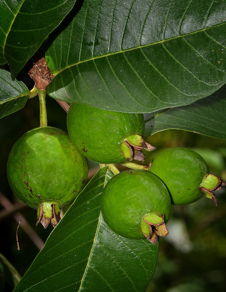 Guava (Psidium sp.), Flagstaff, Cockpit Country, Jamaica, by Ted Lee Eubanks.