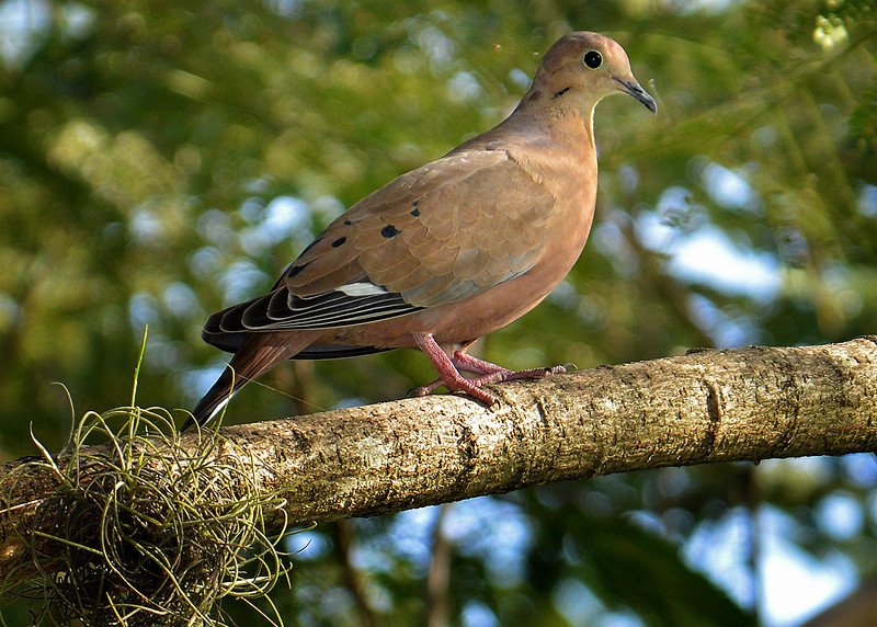 Zenaida dove (Zenaida aurita), Montego Bay, Jamaica, by Ted Lee Eubanks.
