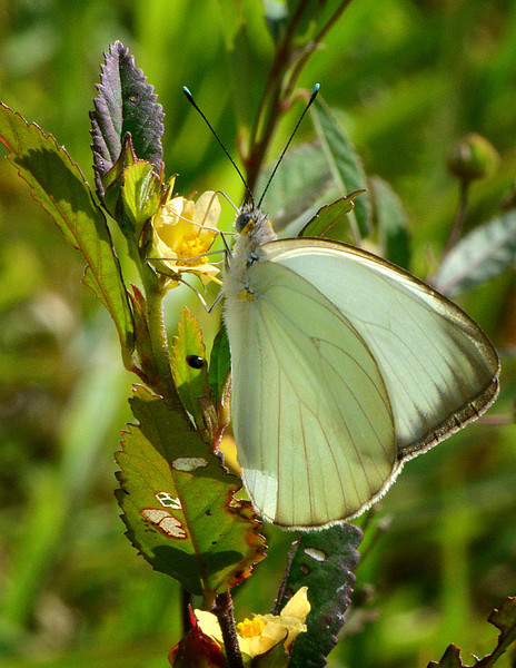 Great southern white (Ascia monuste), Windsor Research Centre, Jamaica, by Ted Lee Eubanks.