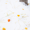 Sundrops in the Snow