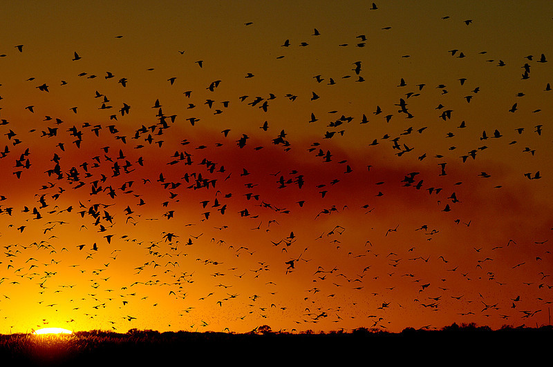 Red-winged Sunset