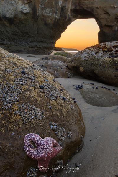 Santa Cruz Starfish at Sunrise
