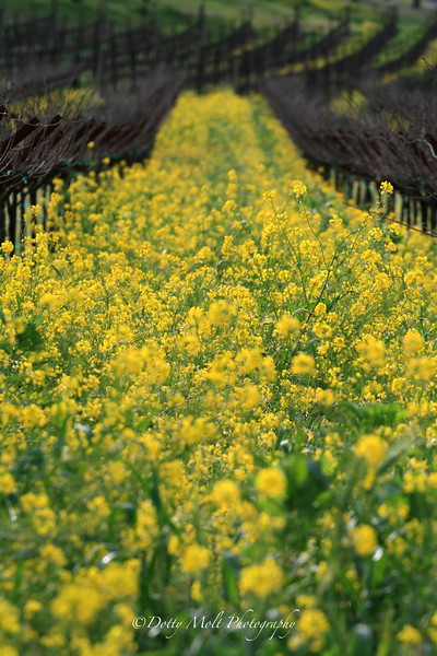 Mustard forever Sonoma, CA