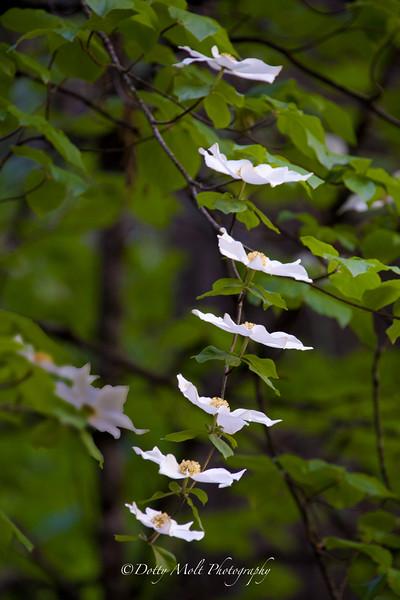 Angel Steps, Dogwood Blossoms, Yosemite