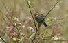 Point Reyes Warbler