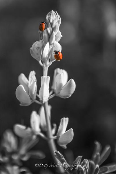 Ladybugs BW