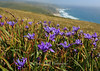 Iris Overlook Point Reyes National Seashore