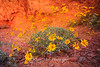 Dancing Daisies  Valley of Fire, Nevada