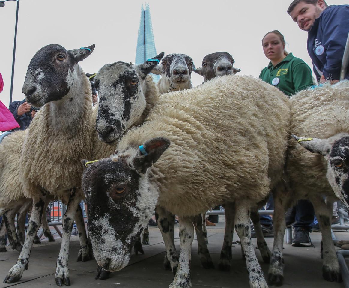 London Bridge Sheep Drive