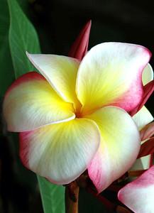 White, yellow and pink plumeria