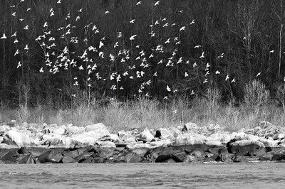 Gulls at Conowingo Dam, MD