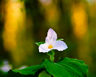 Trillium - G.R. Thompson WMA, Virginia