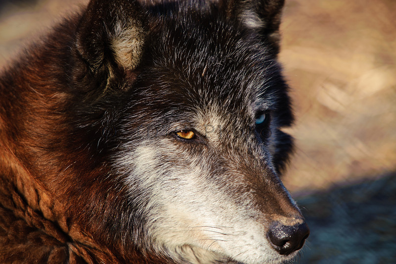 Wolf eyes! Meet Delilah -- a female wolf with one eye orange and one blue. She has some Husky genes in her bloodline according to the keeper.