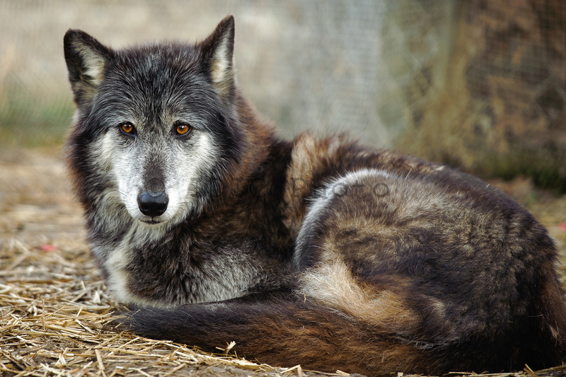 This wolf's name is 'chomp'. Ain't I cute?